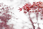 Japanese maple, Acer palmatum, red leaves in autumn mist artistic abstract photo on white foggy background, Kyoto, Japan
