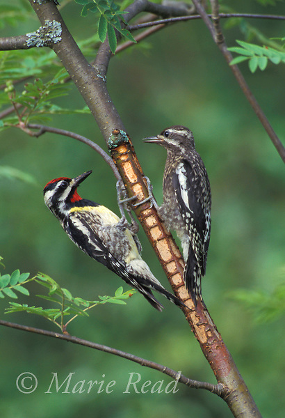 Yellow-bellied Sapsuckers (Sphyrapicus varius) adult male (left) and fledgling (right) visit sap wells, New York, USA<br />