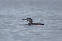 Female Loon, Castine, Maine, US