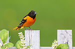Male Baltimore oriole perched on a backyard fence in northern Wisconsin.