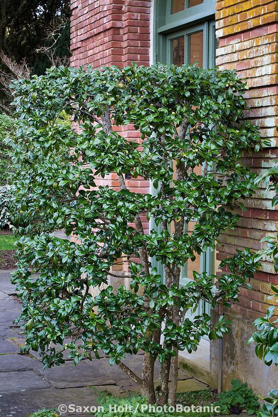 Evergreen shrub, Camellia japonica, pruned in open shape