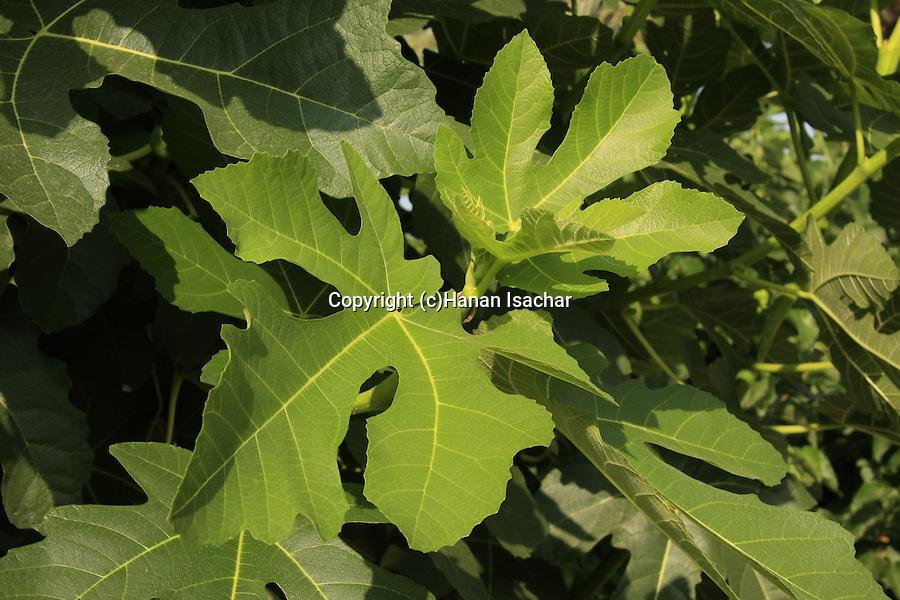 Israel, Carmel Coastal Plain. Fig tree at Bustan Hacarmel tropical tree garden
