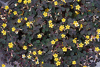 Oxalis 'Burgundy', dark foliage purple shamrock in yellow flower, Oxalis vulcanicola 'Burgundy'