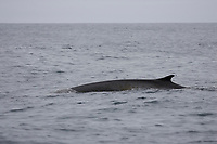 Surfacing Fin Whale Balaenoptera physalus, Skin spotted with diatom growth. Spitsbergen Arctic Norway North Atlantic