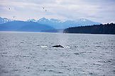 ALASKA, Juneau, Humpback Whales spotted while whale watching and exploring in Stephens Passage