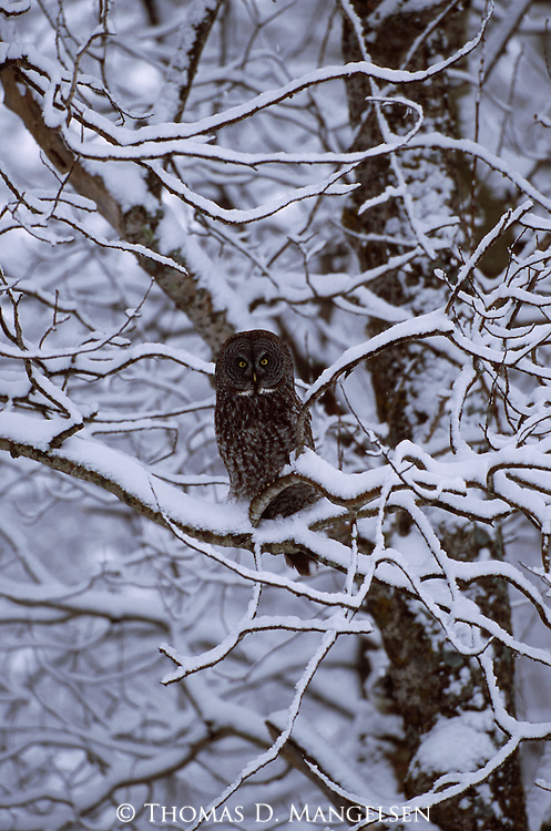 Great Gray Owl perched in a snow-covered tree in Minnesota.