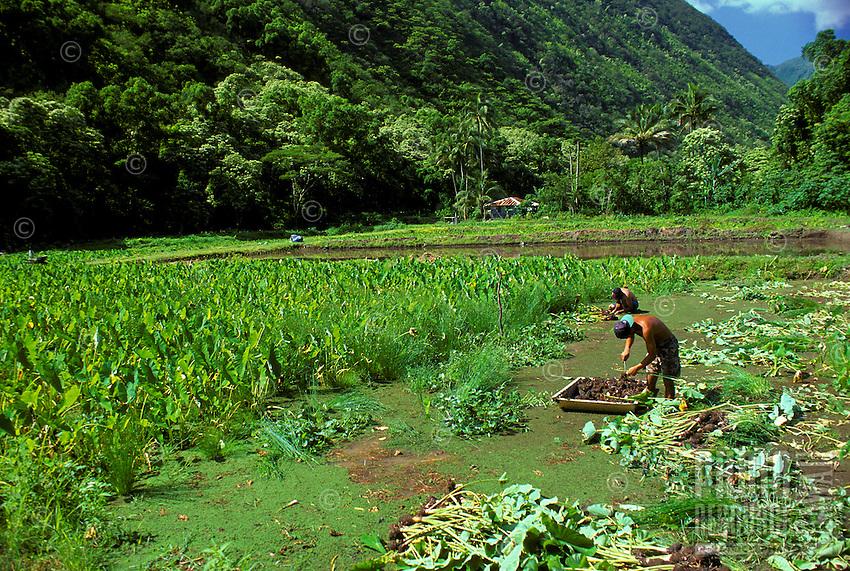 People harvesting taro on a farm in Waipio Valley on the Big Island