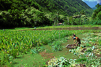 People harvesting taro on a farm in Waipio Valley on the Big Island