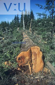 Logging an old-growth forest in the Pacific Northwest.