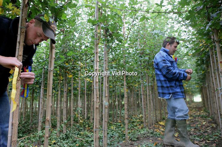 Foto: VidiPhoto..DODEWAARD - Personeel van boomkweker R. Verwoert uit Opheusden meet de omtrek van de stammen van jonge boompjes op een perceel bij Dodewaard. Het meten is nodig om de prijs van de bomen te kunnen bepalen. Hoe dikker de stam, hoe hoger de prijs. Herfst en voorjaar zijn perioden waarin veel bomen worden verkocht, omdat veel particulieren dan hun tuin respectievelijk winter- en zomerklaar gaan maken.
