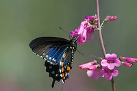 Pipevine Swallowtail or Blue Swallowtail (Battus philenor).  Arizona