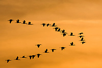 A flock of glossy ibis fly against a golden background, central Valley, California.