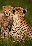 Cheetah and cub, Masai Mara National Reserve, Kenya