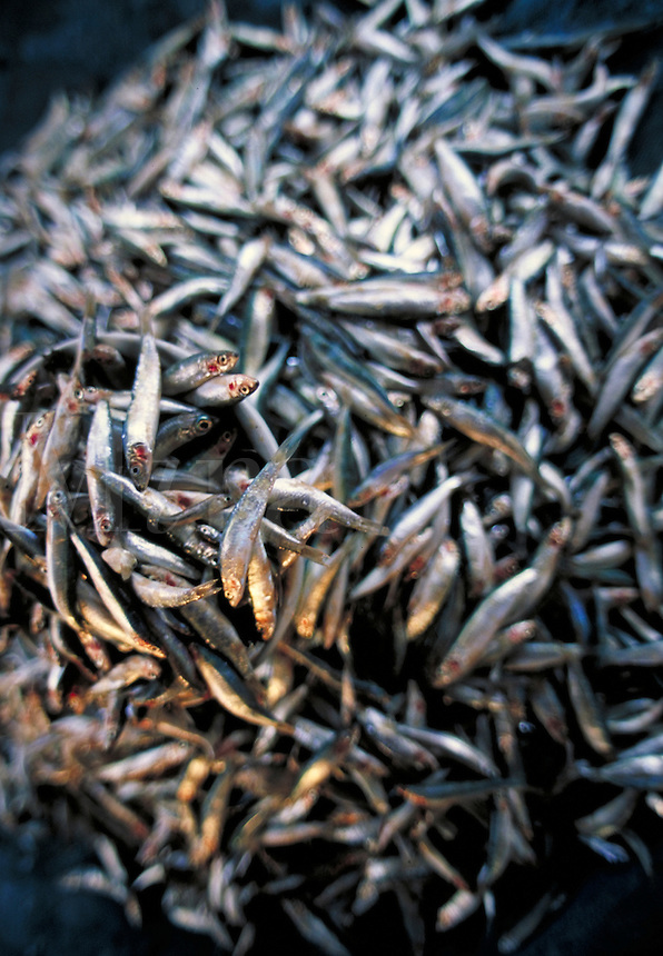A close up of a pile of tiny fish. Shallow depth of focus. Markets. Ko Samui, Thailand.
