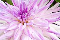 Purple Dahlia, Washington