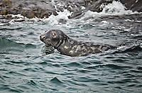Gray Harbor Seal in the water off Machias Seal Island near Gull Rock