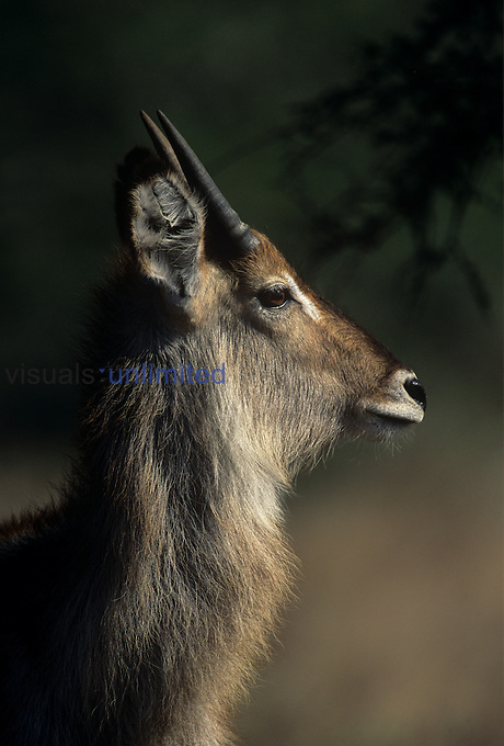 Young male Waterbuck face, side view (Kobus ellipsiprymnus), South Africa.
