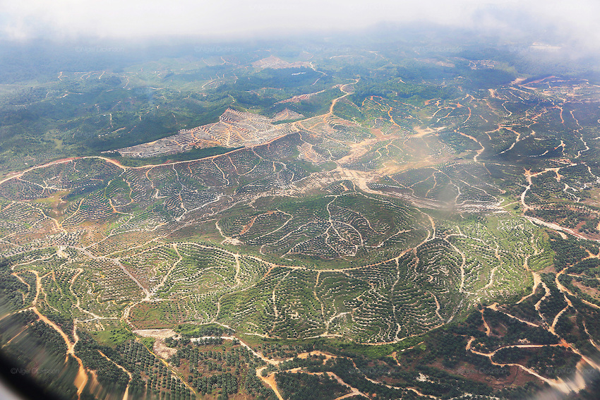 Aerial photography overlooking thousands of hectares of palm oil plantations. This was originally unspoilt primary rainforest. Near Long Akah, Baram, Sarawak, Malaysia 2015<br /> <br /> These regions were were part of the world's oldest rainforest, which dates back 160 million years. The indigenous native communities&rsquo; survival depends on sustainable development of primary rainforest, a biodiversity resource, with countless insects, an array of birds and endangered species, which support one of the most diverse tropical ecosystems in the world. <br /> <br /> Borneo native peoples and their rainforest habitat revisited two decades later: 1989/1991 and 2012/2014/2015. <br /> <br /> Sarawak's primary rainforests have been systematically logged over decades, threatening the sustainable lifestyle of its indigenous peoples who relied on nomadic hunter-gathering and rotational slash &amp; burn cultivation of small areas of forest to survive. Now only a few areas of pristine rainforest remain; for the Dayaks and Penan this spells disaster, a rapidly disappearing way of life, forced re-settlement, many becoming wage-slaves. Large and medium size tree trunks have been sawn down and dragged out by bulldozers, leaving destruction in their midst, and for the most part a primary rainforest ecosystem beyond repair. Nowadays palm oil plantations and hydro-electric dam projects cover hundreds of thousands of hectares of what was the world's oldest rainforest ecosystem which had some of the highest rates of flora and fauna endemism, species found there and nowhere else on Earth, and this deforestation has done irreparable ecological damage to that region