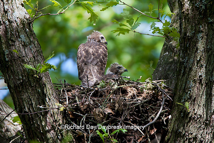 00794-00602 Red-shouldered Hawks (Buteo lineatus) nestlings at nest, Marion Co., IL