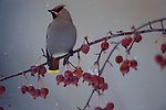 Bohemian Waxwing perched in Crabapple tree in Jackson Hole.