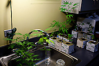 A marijuana clone grows on the counter of Denver's Apothecary of Colorado.  The dispensary is located in downtown Denver and caters to upscale clientelle...Denver-based medical marijuana dispensaries --Colorado is one of 19 states to permit the medicinal use of marijuana.  In the city of Denver, well over 100 marijuana dispensaries have sprung up to meet the demand.  Patients are required to register with the state and have a valid doctor's note for dispensaries to sell them marijuana.