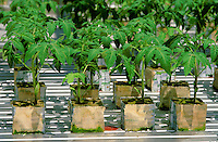 Hydroponics - Greenhouse tomatoes, Columbus, NJ. Released - Barbara Jones. New Jersey USA.