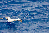 An adult Red-footed booby (Sula sula) following the National Geographic Endeavour in the tropical South Atlantic Ocean off the coast of Brazil. This bird has an ingeneous hunting tactic: to glide near the bow and wait until the forward progress of the ship forces flying fish to try and avoid the ship by flying, the booby then dives after the fish attempting to escape in the air! The red-footed Booby is the smallest of all boobies at 71 cm (28 in) length, 137 cm wingspan (54 in). Red-footed Boobies are spectacular divers, plunging diagonally into the ocean at high speed. They mainly eat small fish, including flying fish.