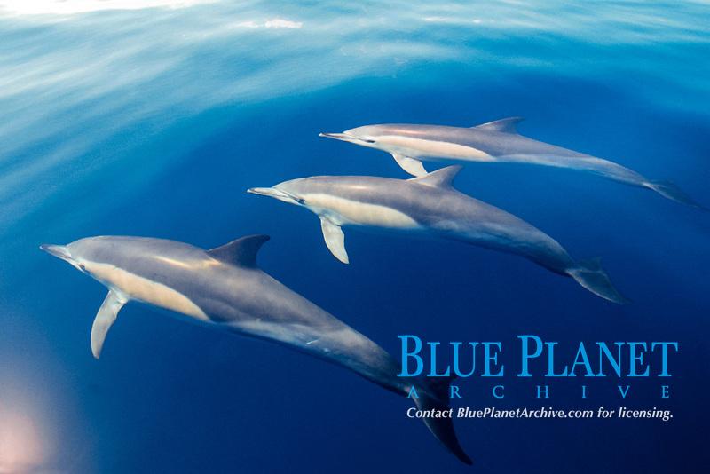 short-beaked common dolphins, Delphinus delphis, New Zealand, Pacific Ocean