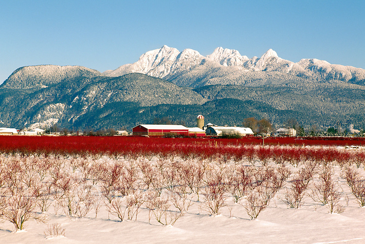 Fraser Valley, BC, British Columbia, Canada - Blueberry Farm, 'Golden Ears' Mountain (Coast Mountains), Winter