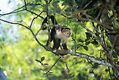 Marenco, Osa Peninsula, Costa Rica. White faced capuchin monkey (mono cara blanca, Cebus capuchinus).