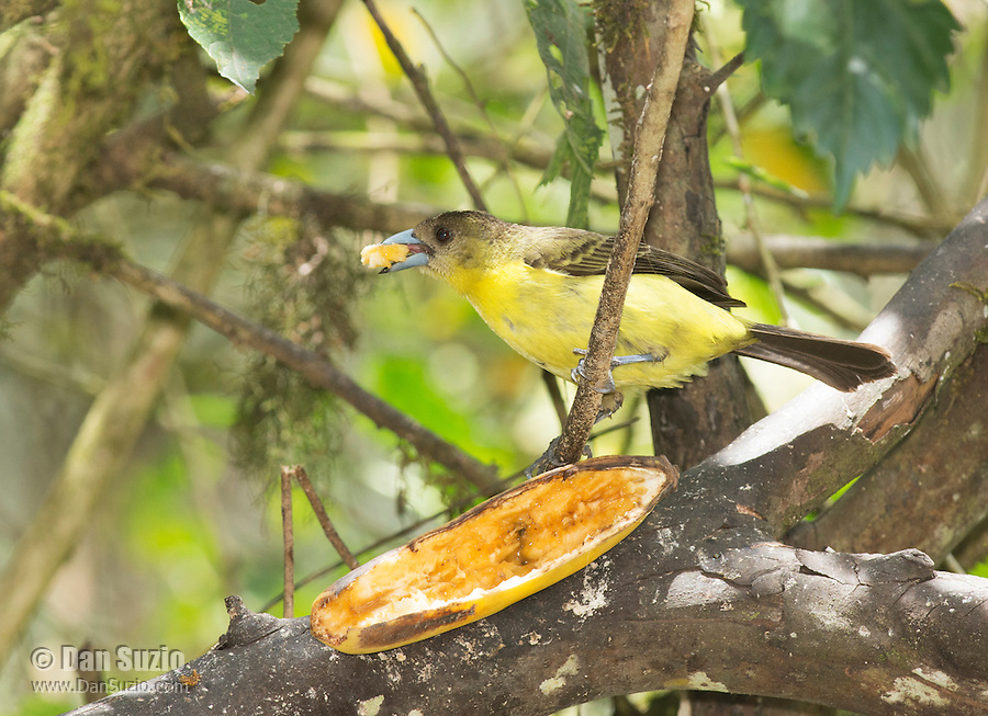Female lemon-rumped tanager, Ramphocelus icteronotus, takes a bite of banana at a feeder in Tandayapa Valley, Ecuador