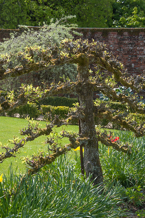 Espalier pear tree, Walled Garden, Hinton Ampner, Hampshire.