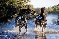 American Paint Horse stallions run through shallow water stream.