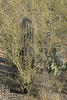 "Saguaro, Carnegiea gigantea, growing in shelter of a shrub. Saguaros often grow under ""nurse plants"" where shade and moisture provide better conditions for germination.  Saguaro National Park, Arizona"