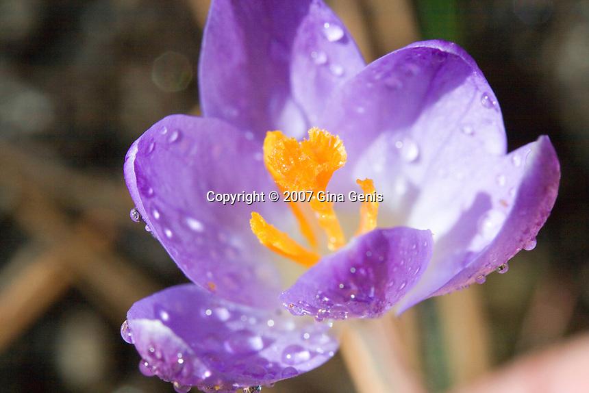 Purple crocus with orange stamen in sunlight with water droplets