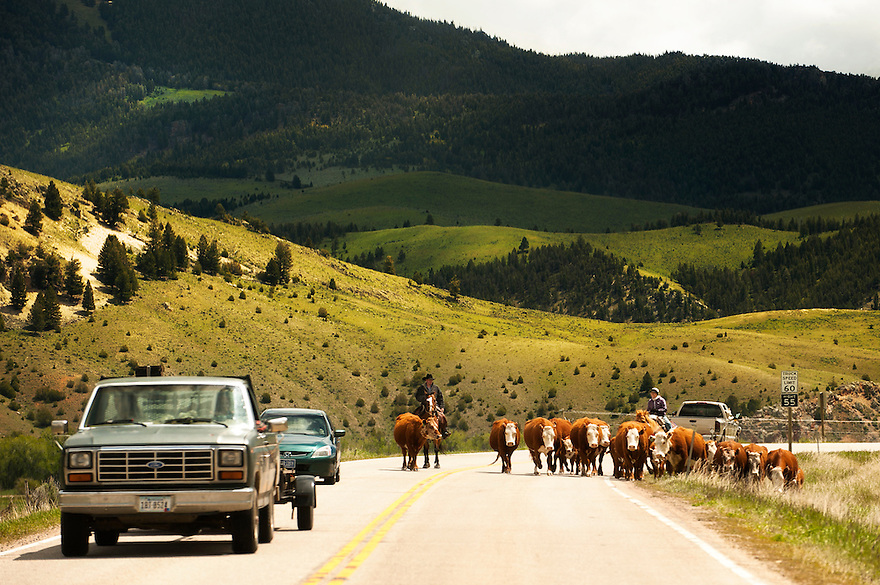 Cowboys drive a herd of cattle along a highway in the Big Hole River Valley near Divide, Montana.