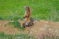 Olympic Marmots (Marmota olympus)--mother and young pups near den.  Olympic National Park, WA.  Summer.