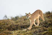 """Wild female Puma (Puma concolor) was hunkered down near a herd of Guanaco for over an hour. They had spotted her but she didn't care. She wanted to stay close as night came and the advantage turned in her favor. Then a """"famous photographer"""" decided he needed to get closer and get a clearer view of her. He got between the cat and the Guanaco - and she got up and trotted over the hill. Big shot left the scene. Our guides told us to sit tight as they anticipated she would return to the Guanaco as night fell. They were right! They call her """"Rupestra"""" - """"rupestre"""" is Spanish for wall art/cave paintings. This cat was born in a cave with these paintings on the walls."""