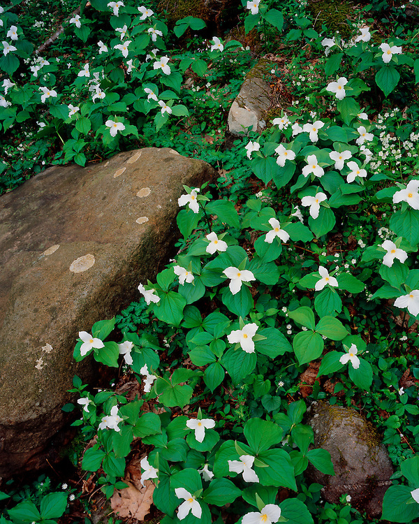Large-Flowered Trillium (Trillium grandiflorum) in bloom; Great Smoky Mountains National Park, TN