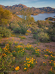 Poppies near Bartlett Lake, Arizona © 2017 James D Peterson.  Illuminated by the warm light of the sun setting behind thin clouds, springtime wildflowers brighten this Sonoran Desert scene.