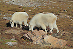 Mother nanny and baby kid Mountain Goats (Oreamnos americanus) grazing on the alpine slopes of Mount Evans (14250 feet), Rocky Mountains, west of Denver, Colorado, USA Wildlife  photo tours to Mt Evans. .  John leads private, wildlife photo tours throughout Colorado. Year-round.