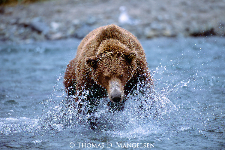 With his sights set on a salmon he can't refuse, a massive brown bear wastes no time in making his catch.