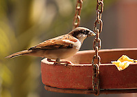 Stock image of a house sparrow eating from a bird-feeding pot.