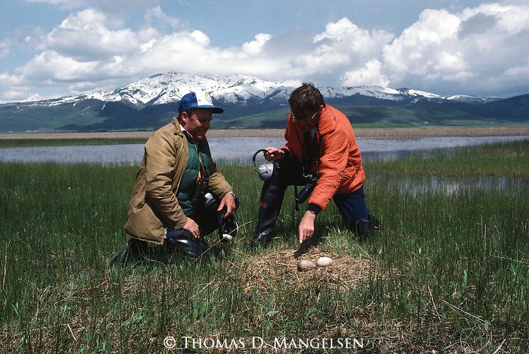 Rod Drewien and Ernie Kuyt doing a whooping crane egg transplant. Ernie Kuyt pointing to whooping crane egg