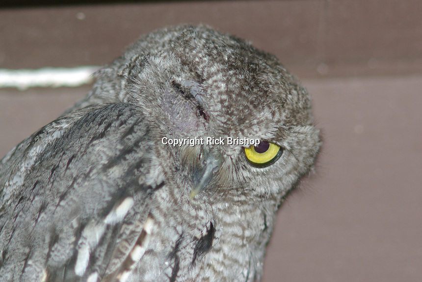 Wild Western Screech Owl seen with a swollen eye spends the day under a patio in Tucson, Arizona