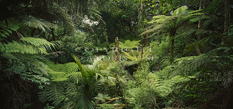 Forest interior. Bay of Islands. Northland Region. New Zealand.