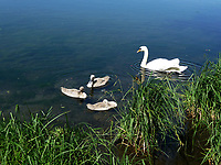 Lombardia, cigno con i piccoli sulle rive del fiume Adda.<br /> Lombardia, swan with her young  on the banks of the river Adda.