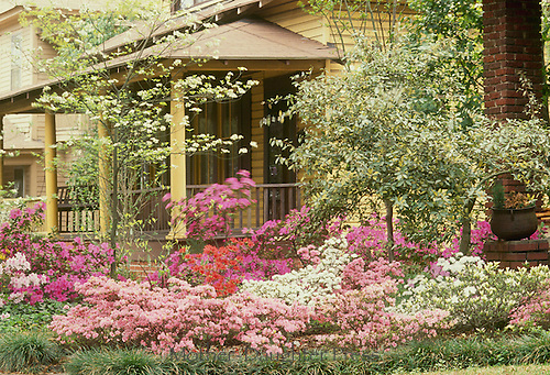 Front garden with azaleas and spring trees