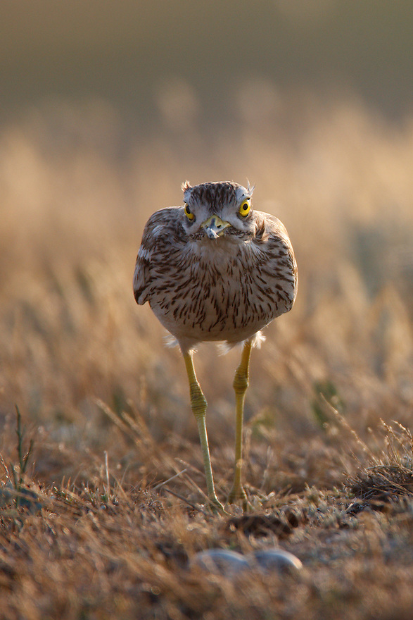 Stone-curlew at nest, Bagerova Steppe, Kerch Peninsula, Crimea, Ukraine