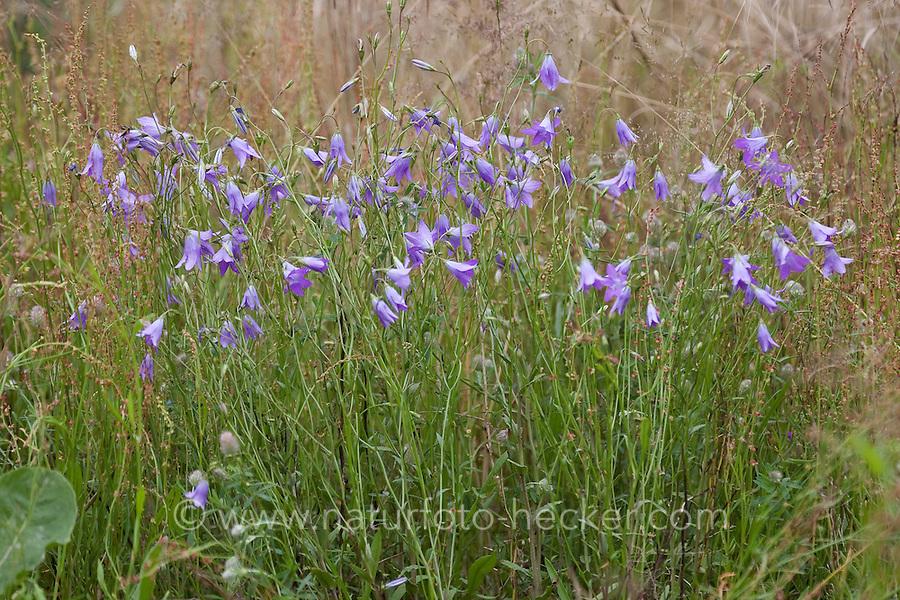 Wiesen-Glockenblume, Wiesen - Glockenblume, Campanula patula, Spreading Bellflower